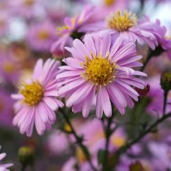 Aster novi-belgii 'Strawberry & Cream