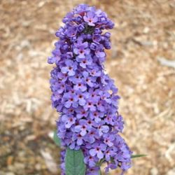 Buddleja davidii 'Griffin Blue'