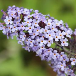 Buddleja davidii 'Summerhouse Blue'