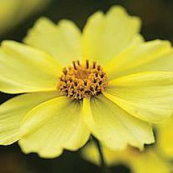 Coreopsis 'Full Moon' ®