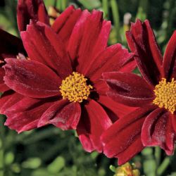 Coreopsis 'Little Bang™ Red Elf' ®