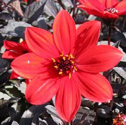 Dahlia Mystic™ Enchantment = 'Another Pet'