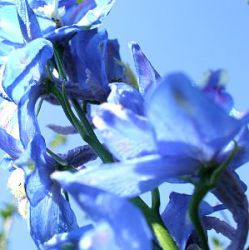 Delphinium pacific 'Summer Skies'