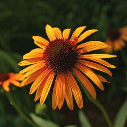 Echinacea 'Flame Thrower' ®