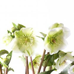 Helleborus hybridus 'Molly's White' (Rodney Davey Marbled Group)