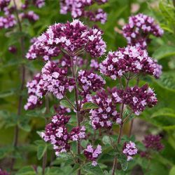 Origanum laevigatum 'Gentle Breeze'