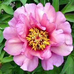 Paeonia Itoh-hybride 'Yankee Doodle Dandy'
