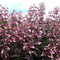 Penstemon digitalis 'Dark Towers' ®