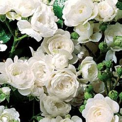 Rosa 'White Fairy' ('Crystal Fairy')