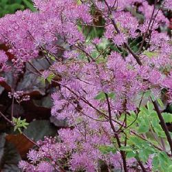 Thalictrum 'Black Stockings' ®